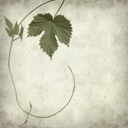 textured old paper background with green hops plant