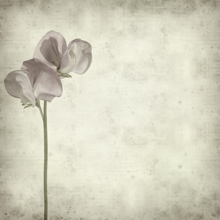 textured old paper background with sweet pea flower