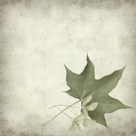textured old paper background with green summar maple leaf and seed cluster photo