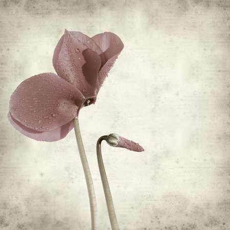 textured old paper background with dark purple cyclamen flower;