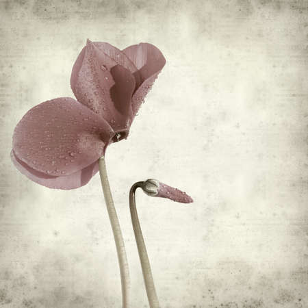 cyclamen: textured old paper background with dark purple cyclamen flower;