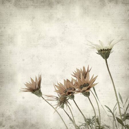 textured old paper background with orange-flowering Gazania