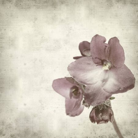 textured old paper background with purple african violet (saintpaulia) photo