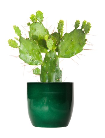 opuntia cactus in a green pot, isolated photo