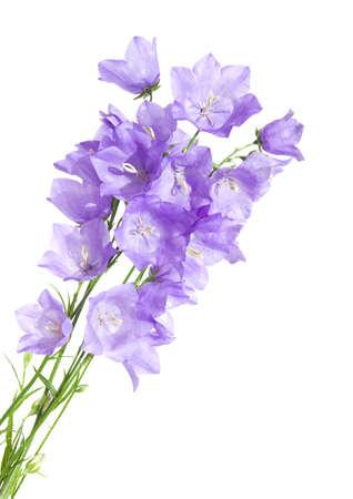 bellflower: bellflower (campanula),bouquet, isolated Stock Photo