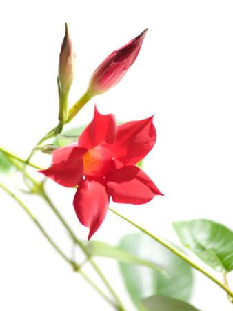dipladenia: fioritura Mandevilla (Dipladenia)