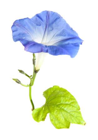 bloomy: blue ipomoea Stock Photo