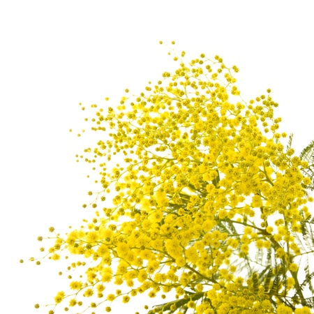 big branch of mimosa plant with round fluffy yellow flowers Stock Photo