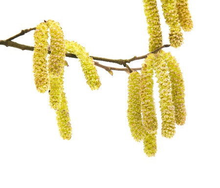 hazel: Common Hazel; branch with male catkins (aments); isolated on white;