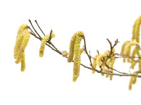 hazel: Common Hazel; branch with male catkins (aments); isolated on white
