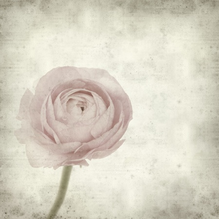 persian buttercup: textured old paper background with  pink ranunculus (persian buttercup)