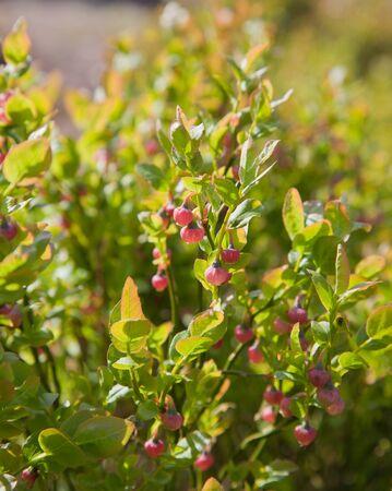 bilberry: flowers of bilberry