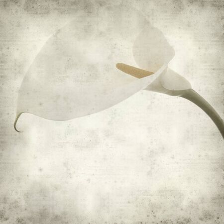 textured old paper background with single white calla lily photo