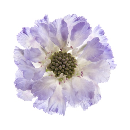 Scabiosa  isolated