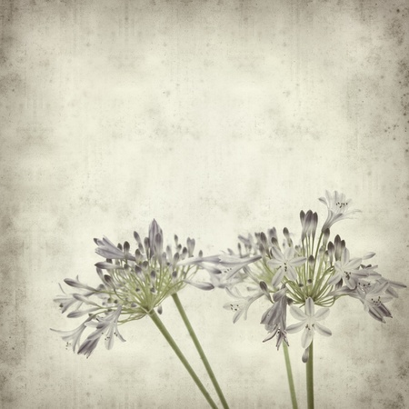textured old paper background with blue african lily flowers photo