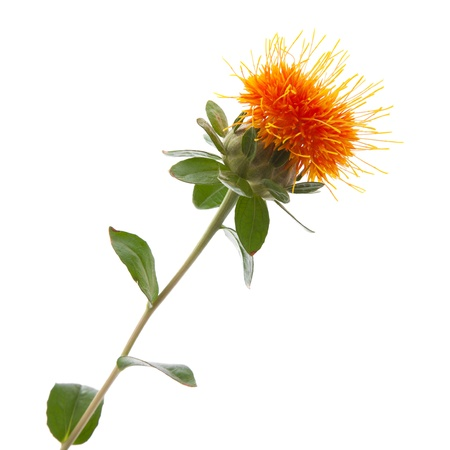 Safflower isolated Stock Photo