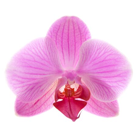 single flower of a phalaenopsis orchid isolated photo