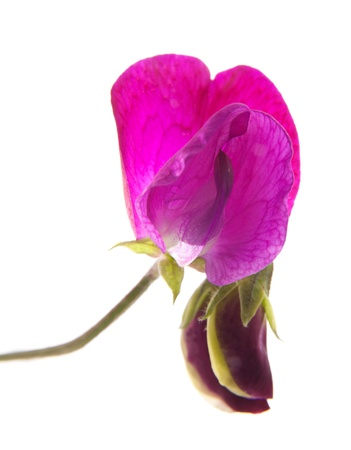 sweet pea flower: sweet pea flowers isolated on white