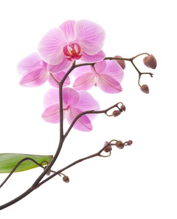 pink phalaenopsis orchid on white photo
