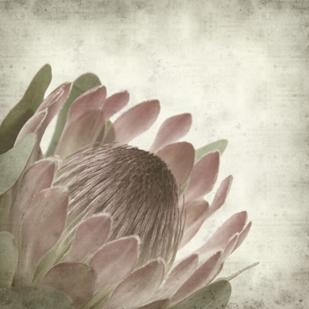 textured old paper background with pink protea sugarbush flower 版權商用圖片