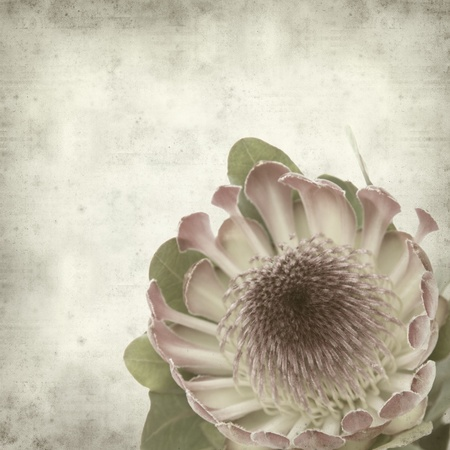 textured old paper background with pink protea sugarbush flower Stock Photo - 10141493