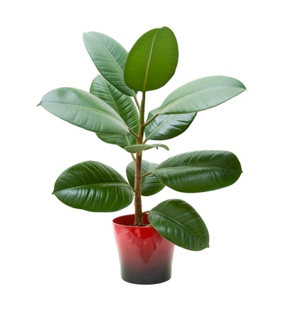 indoor plants:   rubber plant (ficus), isolated on white