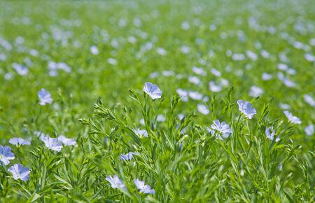 flax plants (Linum usitatissimum) photo
