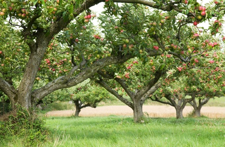 apple orchard background Stock Photo