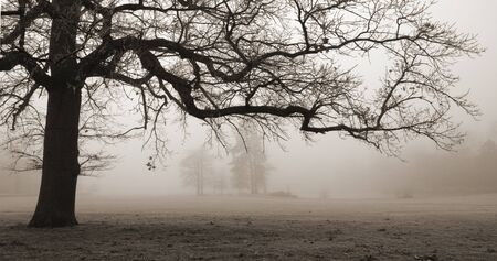 oak tree in winter fog photo