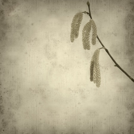 catkins: old paper background with common hazel catkins