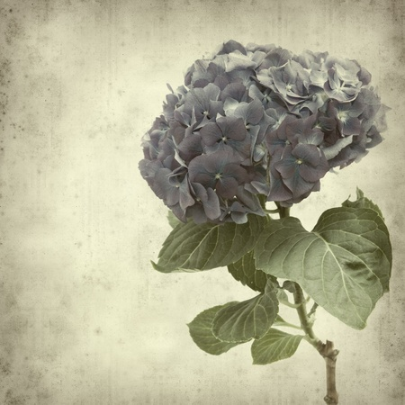 textured old paper background with blue hydrangea flower photo