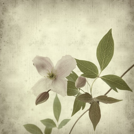 clematis flower: textured old paper background with clematis branch Stock Photo