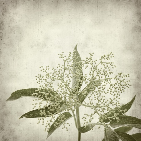 textured old paper background with elder flowers