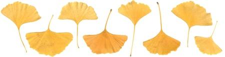 alternative living: autumn ginkgo tree (livilg fossil) leaf border Stock Photo