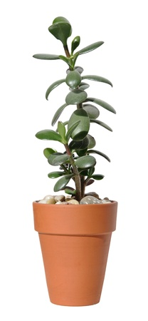 crassula ovata: jade plant (Crassula ovata) in a terracota pot,  isolated on white