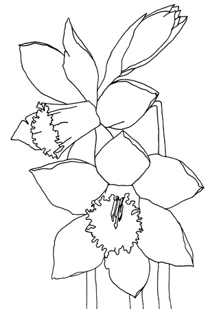 daffodils: daffodils, hand drawing ,smoothed lines