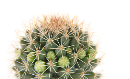 sprayed: cactus about to bloom,water sprayed, isolated Stock Photo