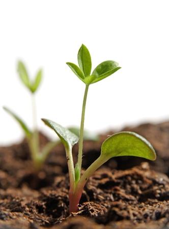 las plantas que crecen de las semillas (altramuz)