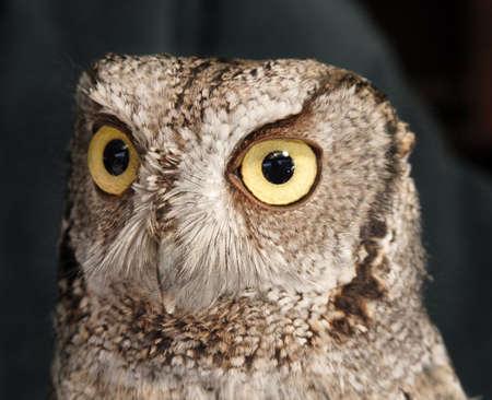 megascops: Western Screech Owl, Megascops kennicottii Stock Photo