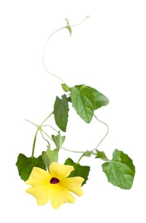 susan: Thunbergia ( black-eyed Susan vine or clock vine)