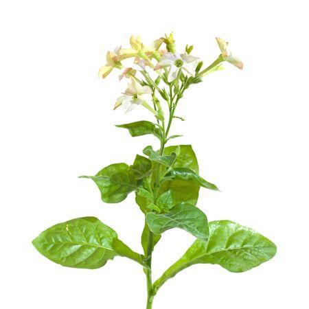 Nicotiana photo