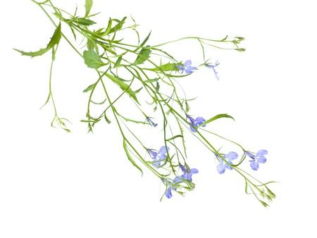 trailing: trailing lobelia plants isolated on white background