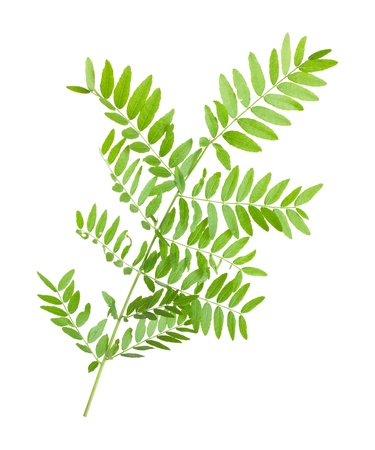 acacia branch isolated