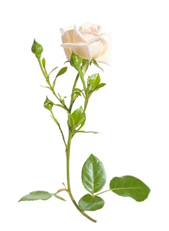 light-colored climbing rose