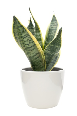 Sansevieria (mother-in-law's tongue) plant in a light colored pot, isolated, background, beauty, clean, green, house-plant, houseplant, image, indoors, isolated, leaf, natural, nature, ornamental, pot, pot-plant, potplant, shape, small, structure, white,