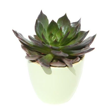 sempervivum, light-colored, pot, isolated ,white photo