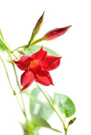 dipladenia: fioritura, Mandevilla, Dipladenia, Archivio Fotografico
