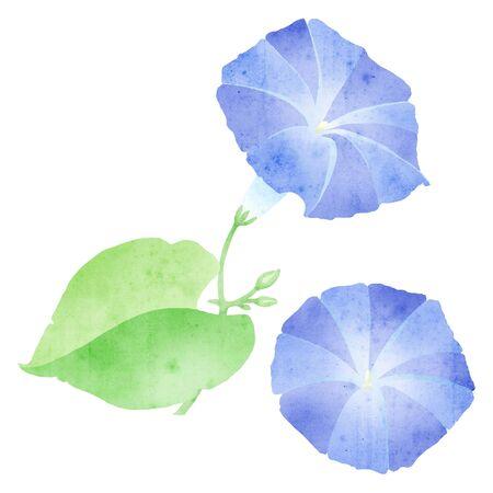 twining: ipomoea illustration