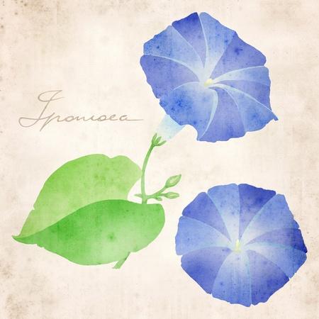 twining: ipomoea illustration in classic botanical illustration style