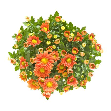 bushes: dark, orange, spray, chrysanthemum, top ,bush,  Stock Photo